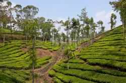 26958128-modelli-e-texture-di-piante-di-te-verde-e-alberi-da-ombra-nel-paese-di-collina-del-kerala-s