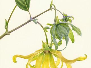 New Ylang Ylang Products!