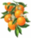 orange-blossom-drawing-30.jpg