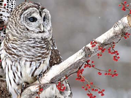 Peaceful Owl In Winter - Pack of 10 Cards