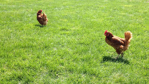 Why 'Pasture Raised' eggs may not be what you think...