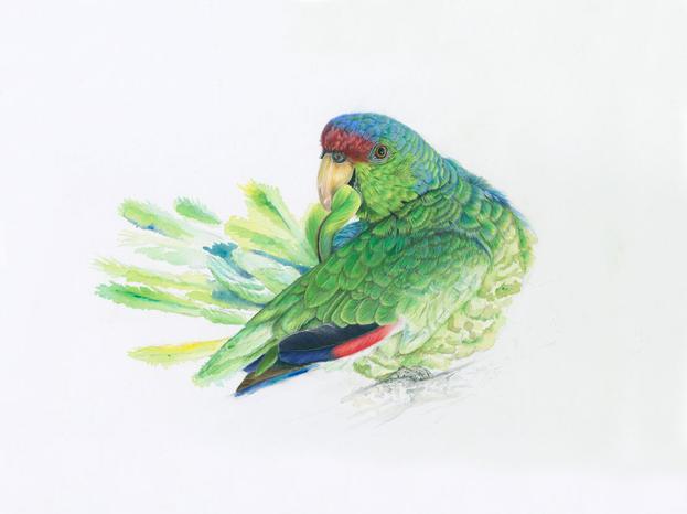 Amazon Lilac Headed parrot