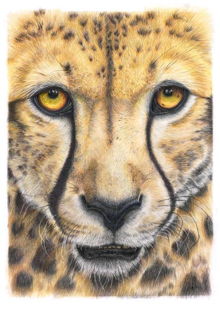 Cheetah: Close up