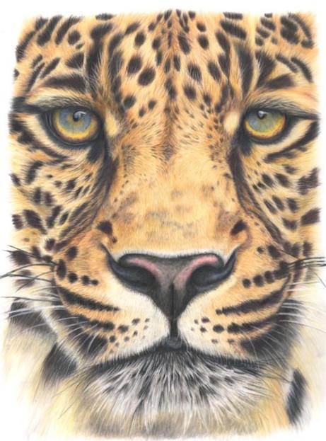 Leopard: Close up