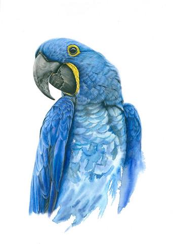 Blue Parrot.jpeg