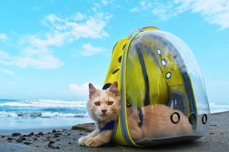 Angora Cat sitting on the beach with bac