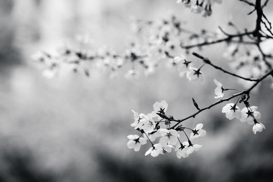 flowers-cherry-34435.jpg