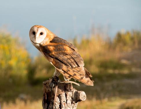 Canadian Owl.