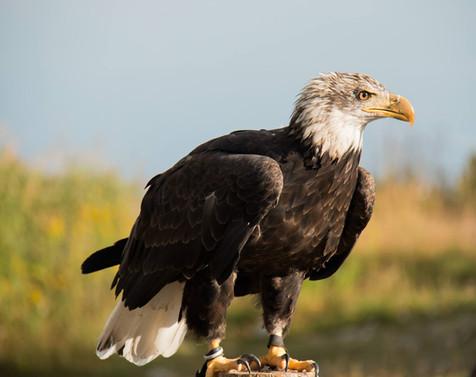 Aguila descansando.