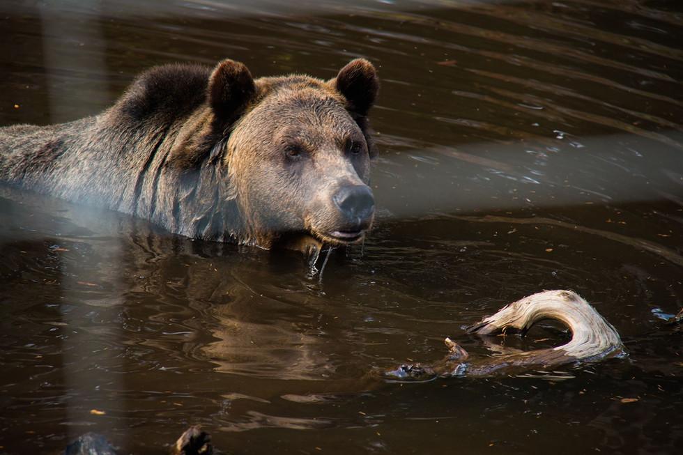 Bears and Grouse Mountain.