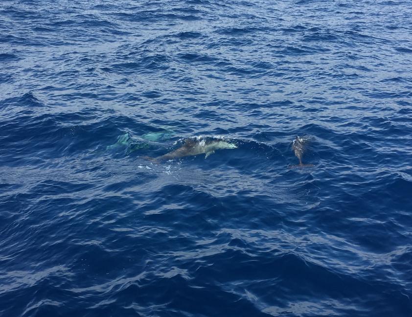 des dauphins joueurs
