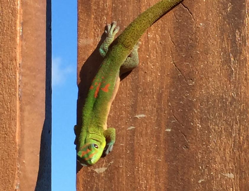 un gecko vert