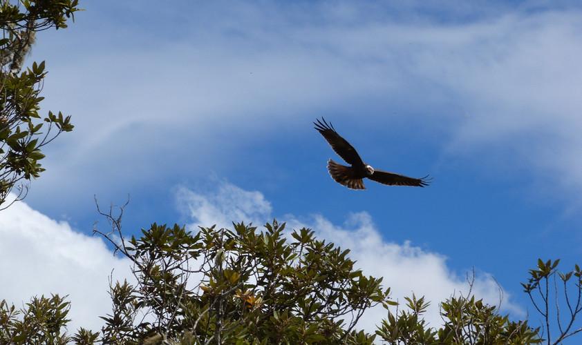 vol de papangue