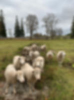 HEDESIGN sheep