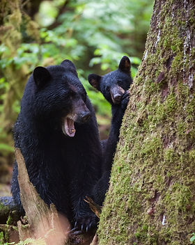 Mother and cub (coy) black bear interact