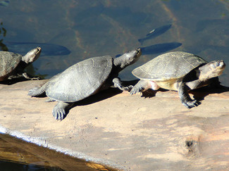 turtle-spotting-cairns-1.jpg