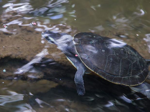 cairns-turtles.jpg