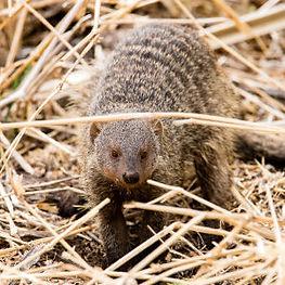 banded-mongoose-tarangire-national-park-