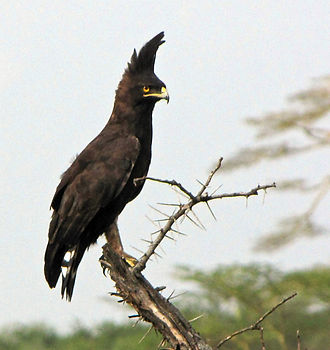 1200px-Long-crested_Eagle.jpg