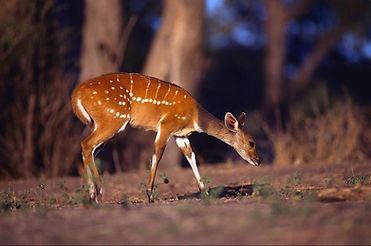 african-bushbuck-antelope-anim030-00301-