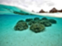 Reefs in stabulation before release operation in the wild