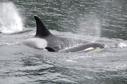 Adult orca and calf