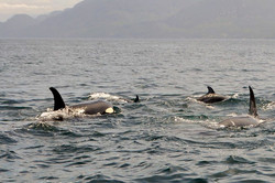 Pod of orcas in Johnstone Strait