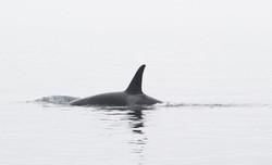 male-resident-orca.jpg