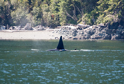 Orcas along the shoreline