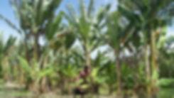 banana garden.JPG