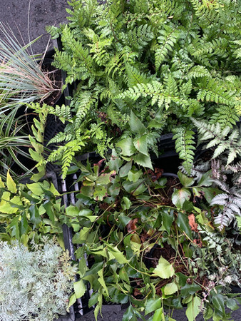 A miscellany of ground ferns.