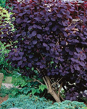 041106486_purple_smoke_bush_xlg-thumb1x1