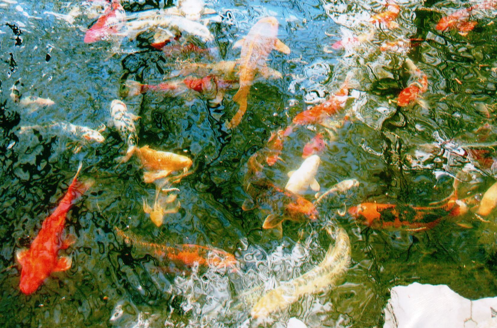 Blackfeld Fisheries Koi Fish
