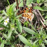 klein parelmoer vlinder