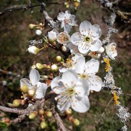 flors primavera