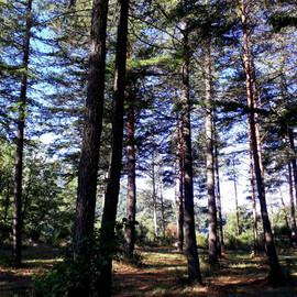 Camp de pins