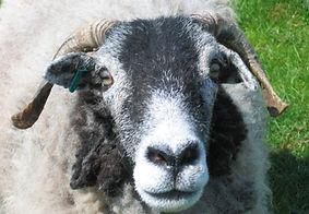 Laura the sheep