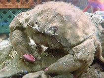 カイカムリ、カイカムリ味、カイカムリ飼育、カイカムリ混泳、カイカムリ通販、カイカムリ販売、カイカムリ水族館