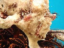 カエルアンコウ、カエルアンコウ飼育、カエルアンコウ種類、カエルアンコウ餌、カエルアンコウ混泳、カエルアンコウ販売、カエルアンコウ通販、カエルアンコウ画像、カエルアンコウ水槽、カエルアンコウ水族館