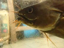 イタチウオ、イタチウオ釣り、イタチウオ料理、イタチウオ飼育、イタチウオ画像
