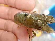 キタンヒメセミエビ、ヒメセミエビ飼育、ヒメセミエビ混泳、ヒメセミエビ販売、ヒメセミエビ通販、ヒメセミエビ餌、ヒメセミエビ図鑑、ヒメセミエビ水族館