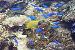 沖縄ルリスズメの群れ