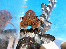 ヒメセミエビ、ヒメセミエビ飼育、ヒメセミエビ販売、ヒメセミエビ混泳、ヒメセミエビ餌、ヒメセミエビ通販、ヒメセミエビ水族館