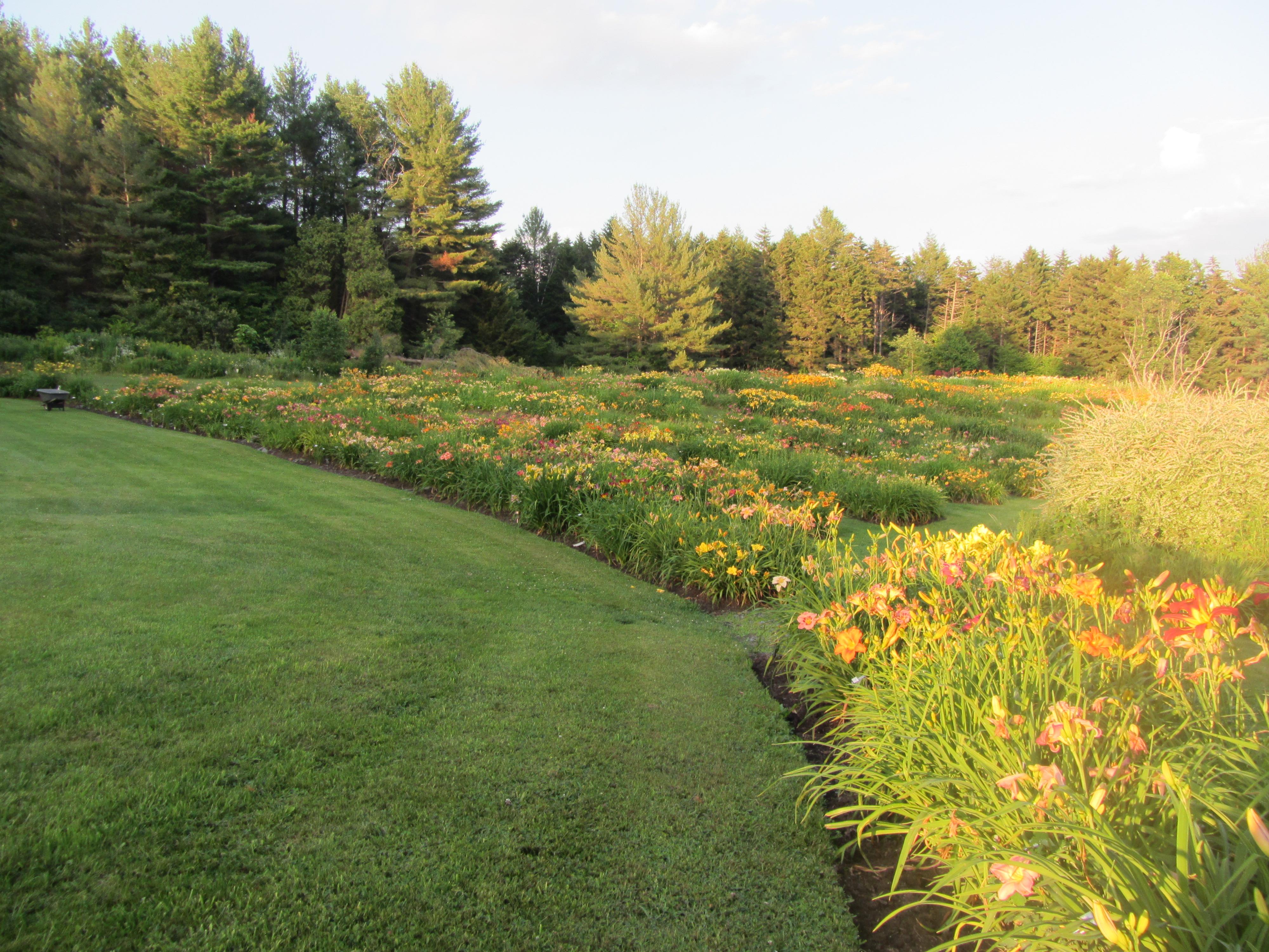 Daylily field