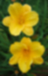 Earliana heirloom daylily