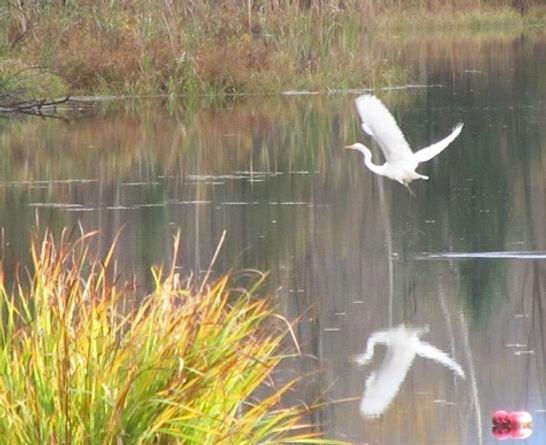 Egret at Pagoda Pond