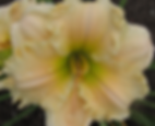 Dinette Sue daylily