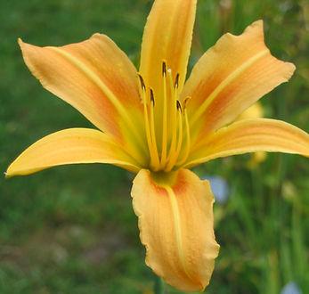 Autumn Mineret -- Stout daylily