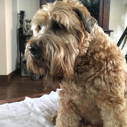 Murphi getting his massage on! #caninemassage #dogmassage #seniordogs #massagetherapy #holistichealing #dogsofoc #wellbeing #doglove #orange