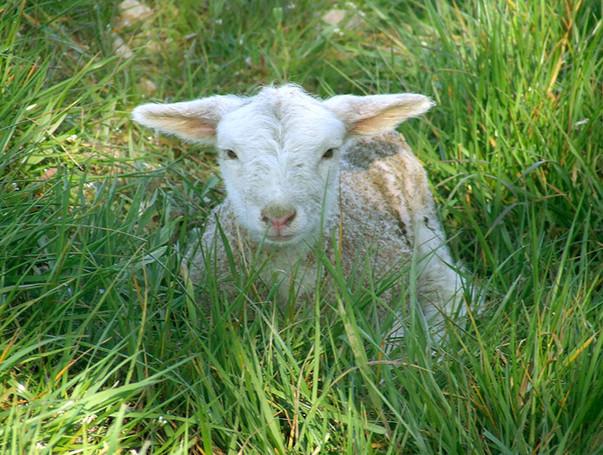 agneau4.jpg